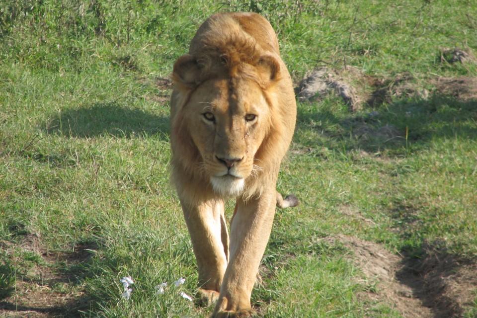 Ngorongoro lion