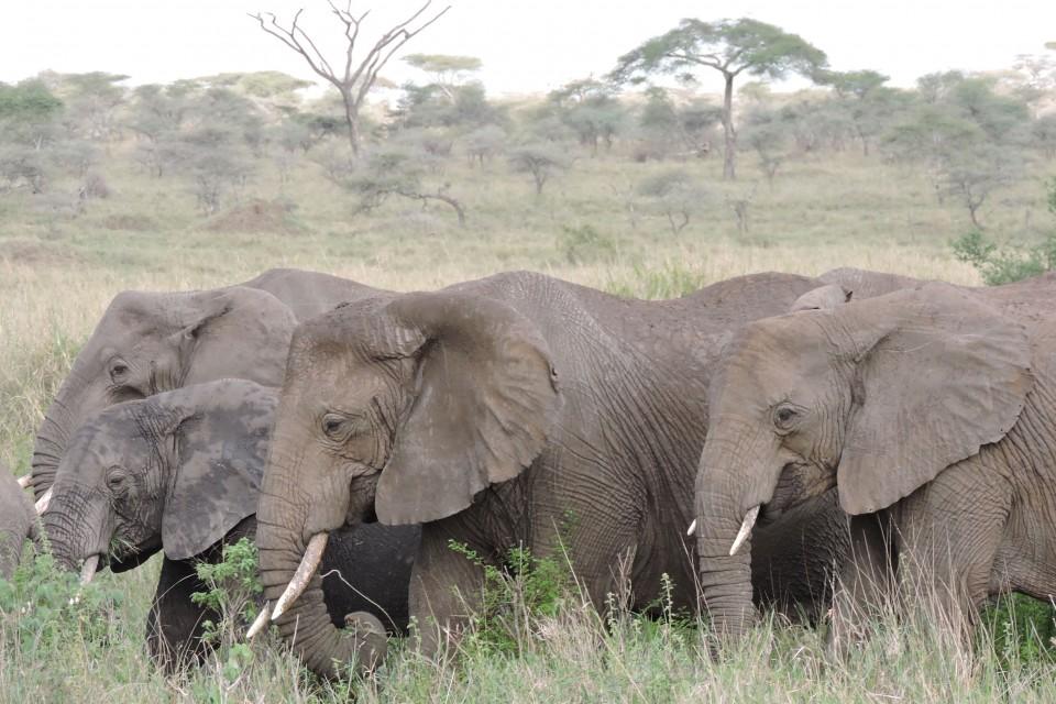 Serengeti elephants  by Mike
