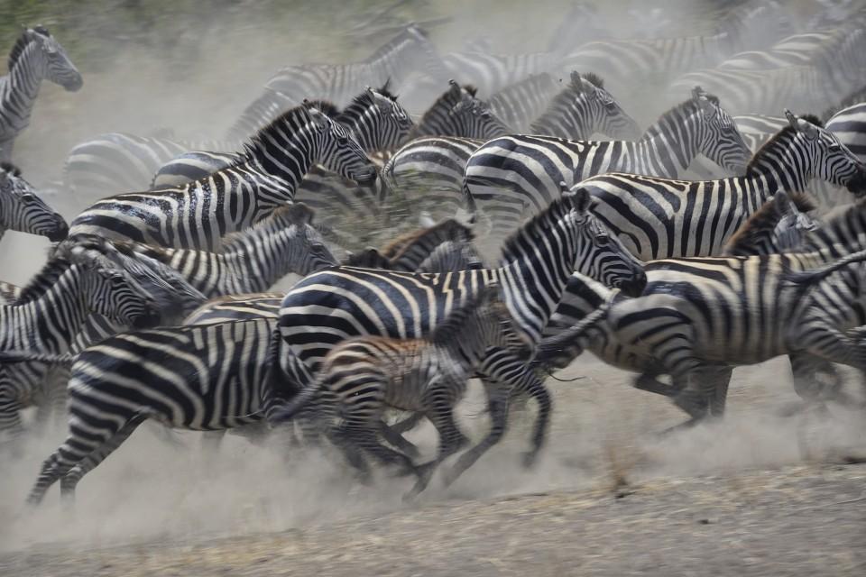 Serengeti zebras  by Diana Robinson