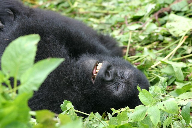 Happy gorilla  by Derek Keats