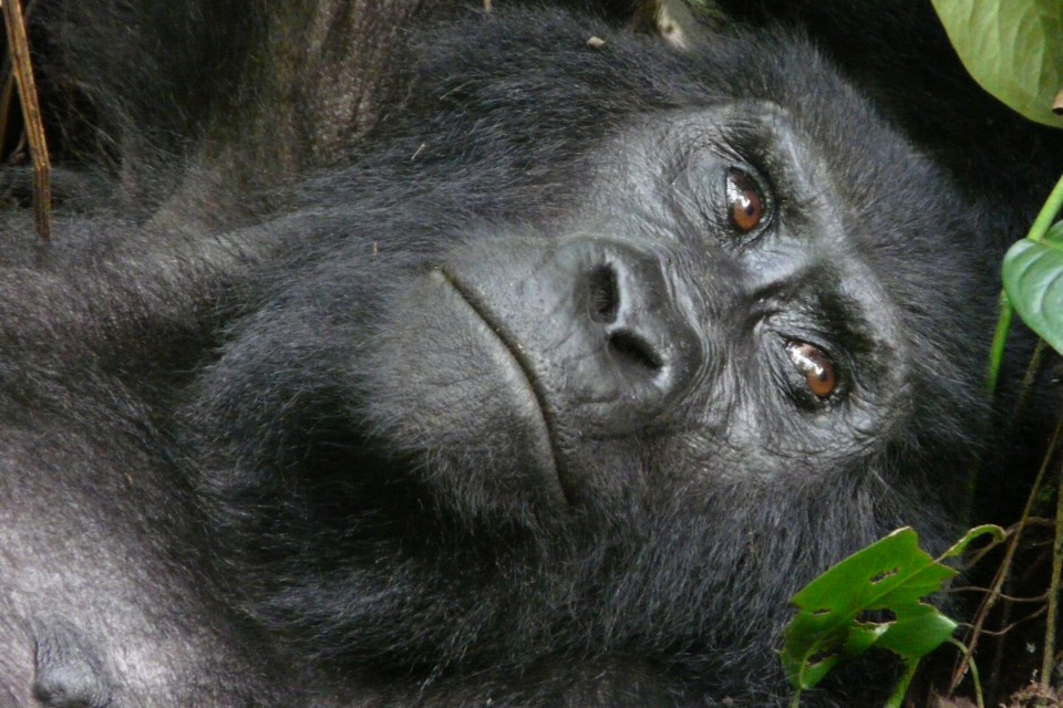 Bwindi gorilla  by Mark Jordahl