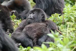 Gorilla family by Joachim Huber
