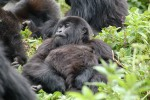 Uganda Gorilla Trek to Queen Elizabeth Park - 6 Days