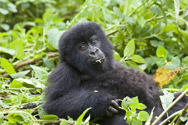 Young gorilla  by  Hjalmar Gislason