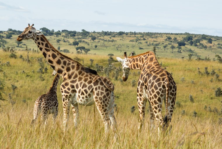Giraffes in Murchison