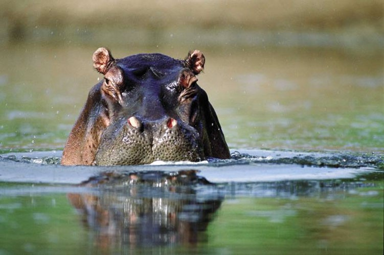 Hippo Image