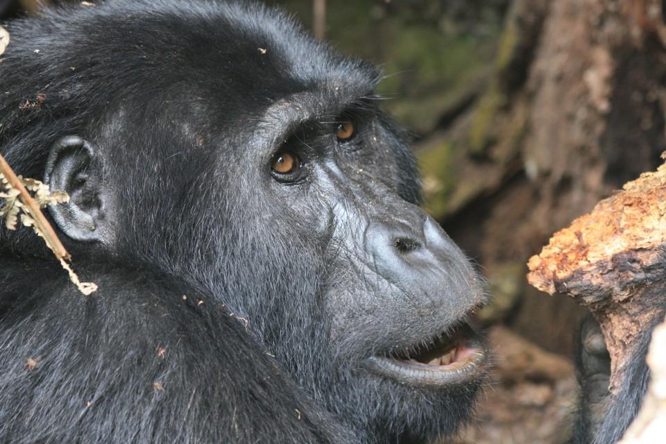Bwindi gorilla  by guido da rozze