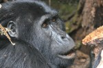 Gorilla Trek to Queen Elizabeth and Bwindi National Park