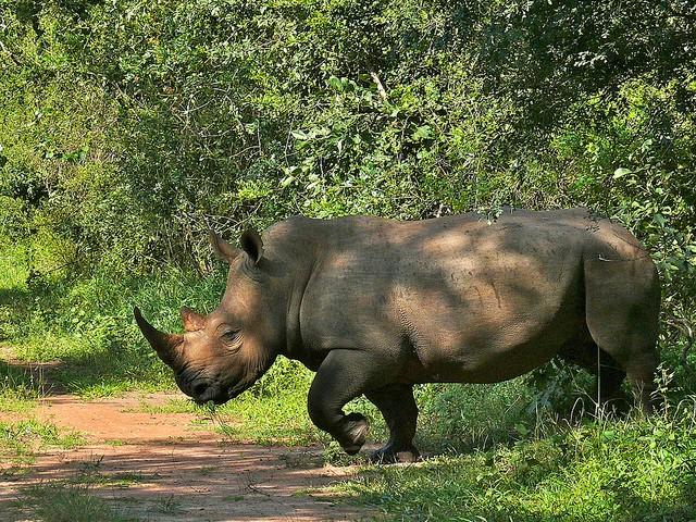 Ziwa rhino  by Bernard Dupont