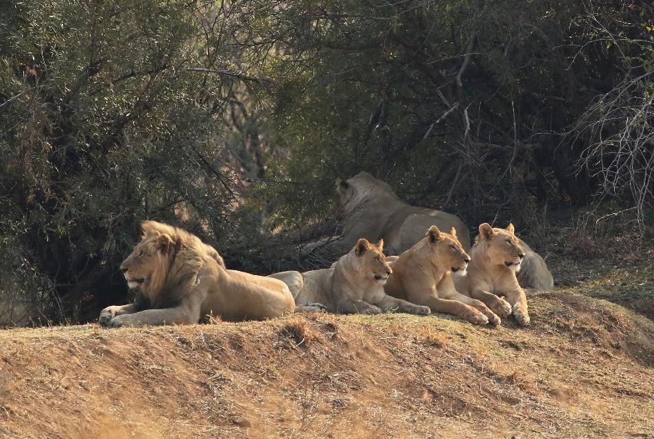 Pilanesberg lions  by Derek Keats