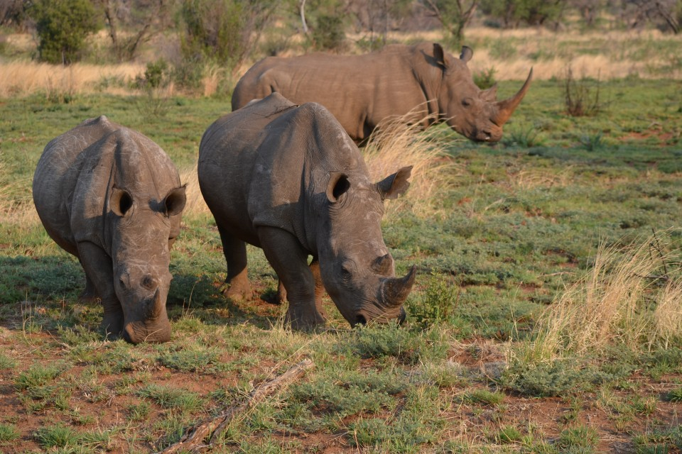 Rhinos in Pilanesberg  by Robert Nyman