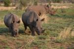 Rhinos in Pilanesberg