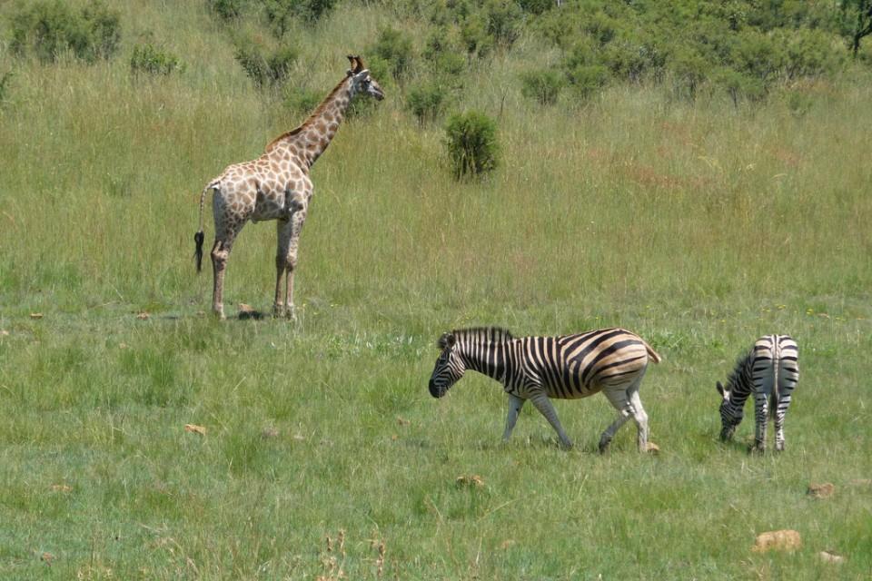 Zebra & giraffe