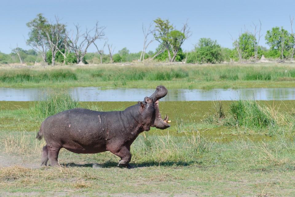 Delta hippo  by Michael Jansen