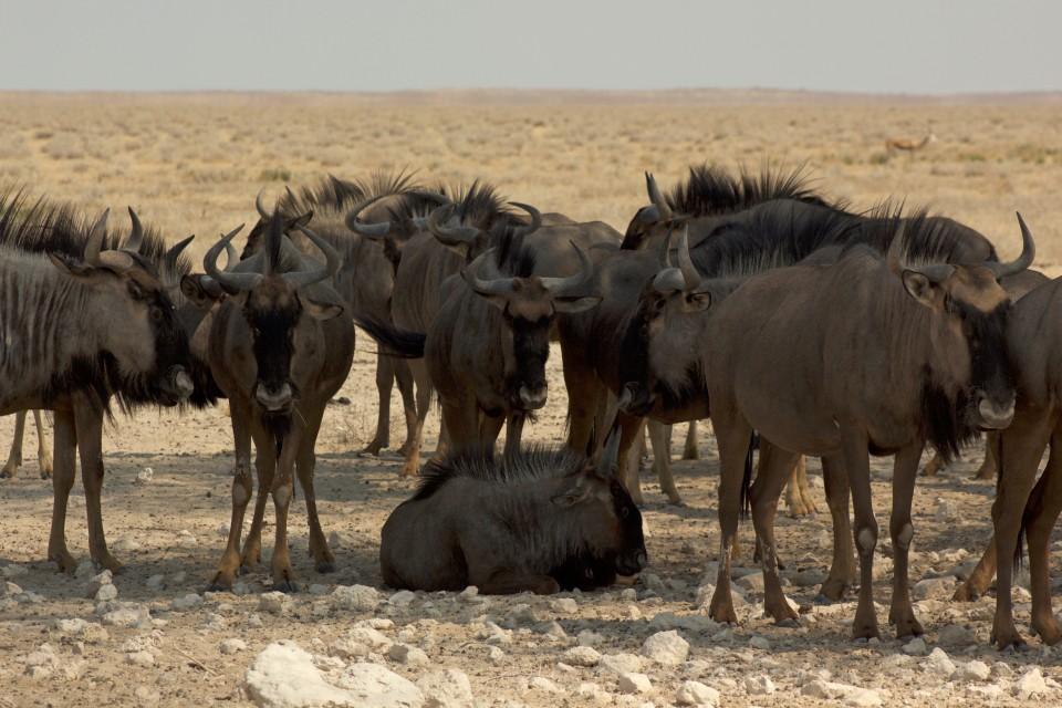 Wildebeest in Etosha