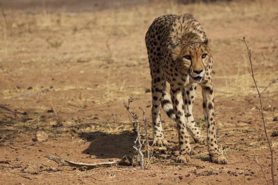Etosha cheetah